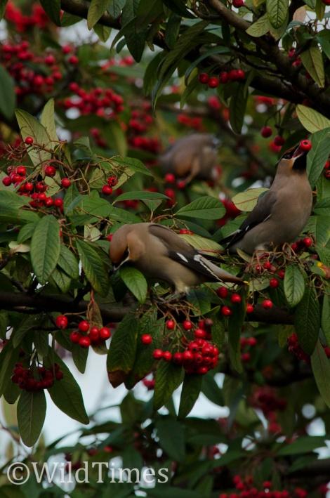 Waxwing Berries