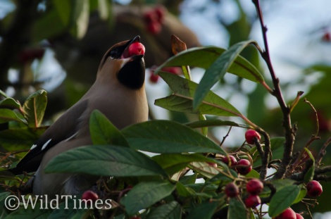 Waxwing Berry